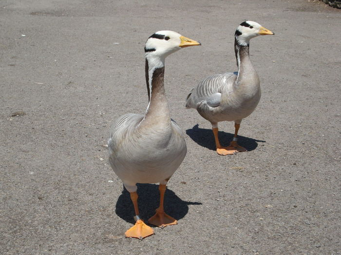 Animal Animal Themes Animals In The Wild Bar Headed Geese Beak Beauty In Nature Bird Duck Full Length Goose Nature No People Sand Seagull Shore Tranquility Water Bird Wildlife Zoology