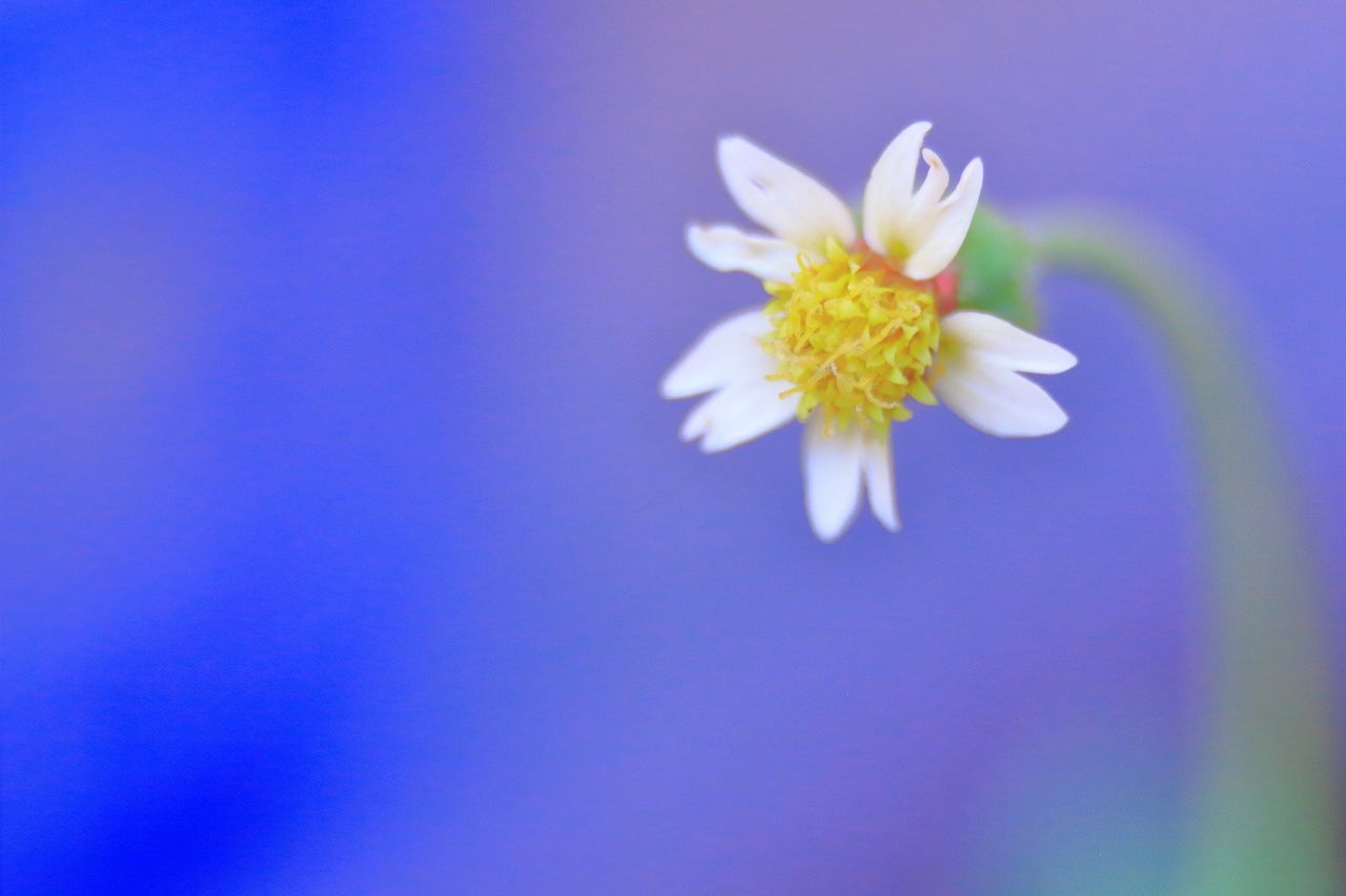 flower, beauty in nature, fragility, petal, nature, blue, freshness, close-up, flower head, no people, growth, blooming, day, outdoors
