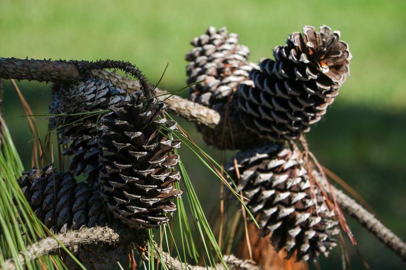 Pine cone EyeEm
