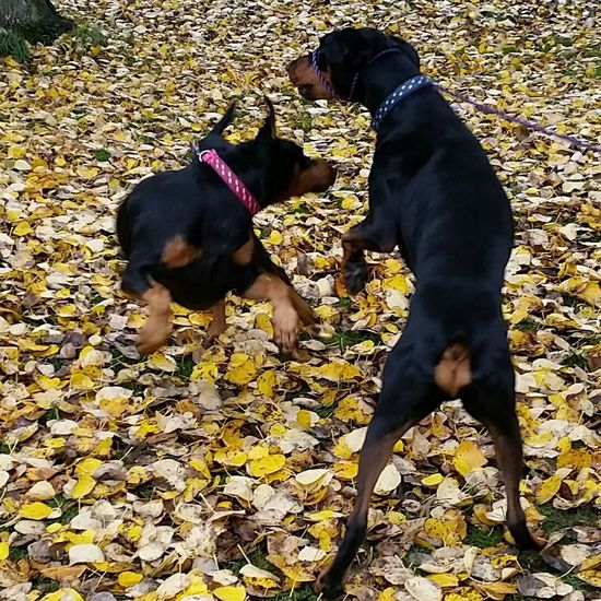 Taking Photos Capturing Movement Enjoying Life Action Shot  EyeEm Gallery A Walk In The Park Outdoor Photography Autumn Collection Autumn Leaves My Dog Is Cooler Than Your Kid. Pets Corner Petphotography Dogoftheday Dobe Doberman  Dobermanoftheday No Filter, No Edit, Just Photography