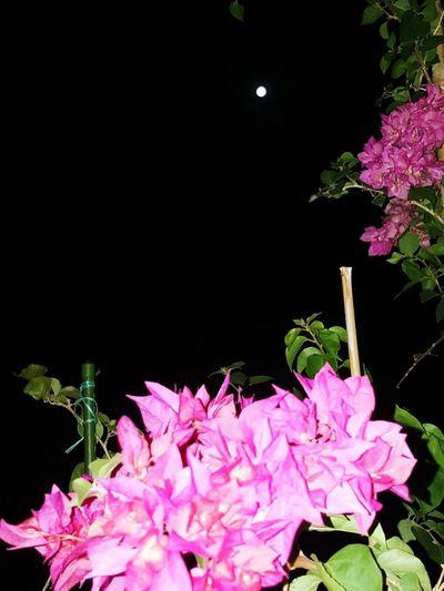 Geceyeselam Ay Dolunay Begonvilçiçekleri