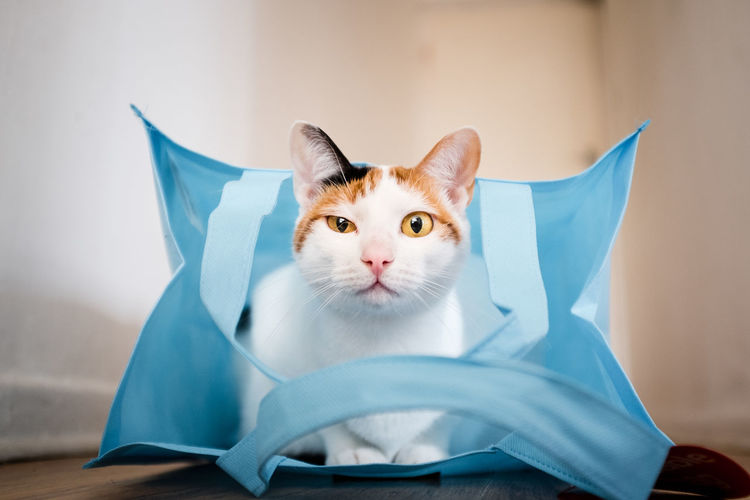The curious cat Blue Cat Cat In A Bag Close-up Domestic Domestic Animals Domestic Cat Feline Focus On Foreground Indoors  Looking Looking At Camera Mammal No People One Animal Pets Portrait Shopping Bag Sitting Vertebrate Whisker