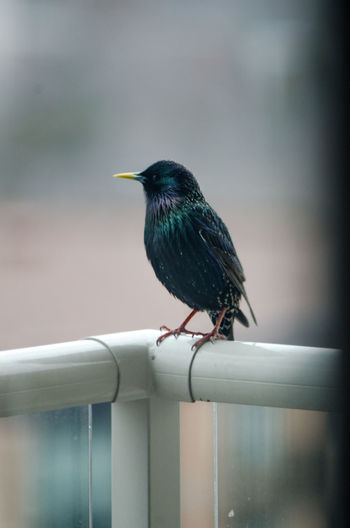 Close-up of bird perching on metal railing