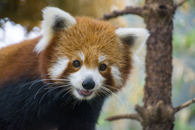 Animals Close-up Red Panda Redpanda SingaporeZoo