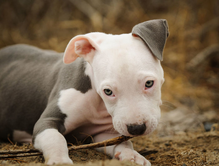 American Pit Bull Terrier dog American Pit Bull Terrier Dogs Dogs Of EyeEm Pit Bull Sticking Out Tongue Animal Animal Themes Apbt Blue Nose Pitbull Chewing Gum Close-up Dog Domestic Animals Nature No People One Animal Outdoors Pet Pets Pitbull Portrait Young Animal