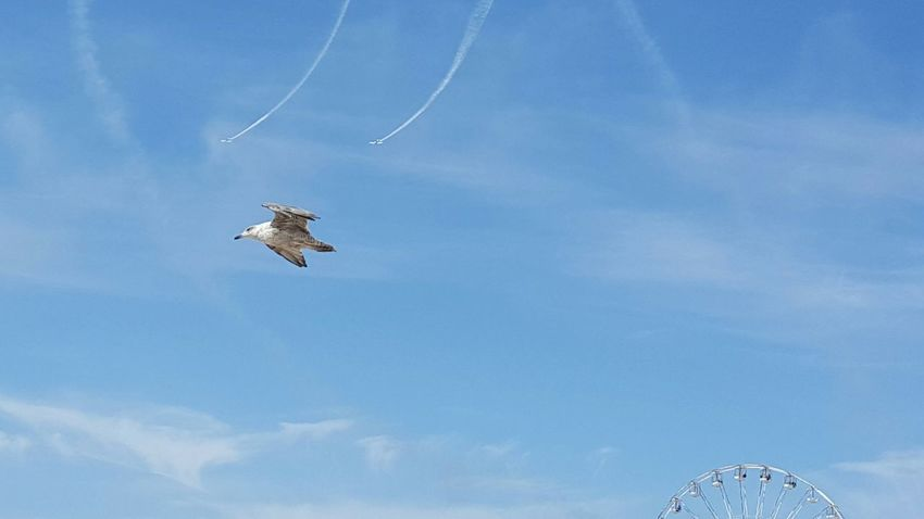 Red Arrows Red Arrows Air Display Seagull Blue Sky Blackpool Trying To Steal The Show Showing Off His Flight Skills