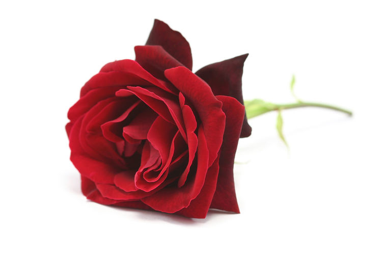 simple red rose on a white background Dried Flowers Flor Flower Love No People Red Flower Red Rose Romantic Roses Symbolic