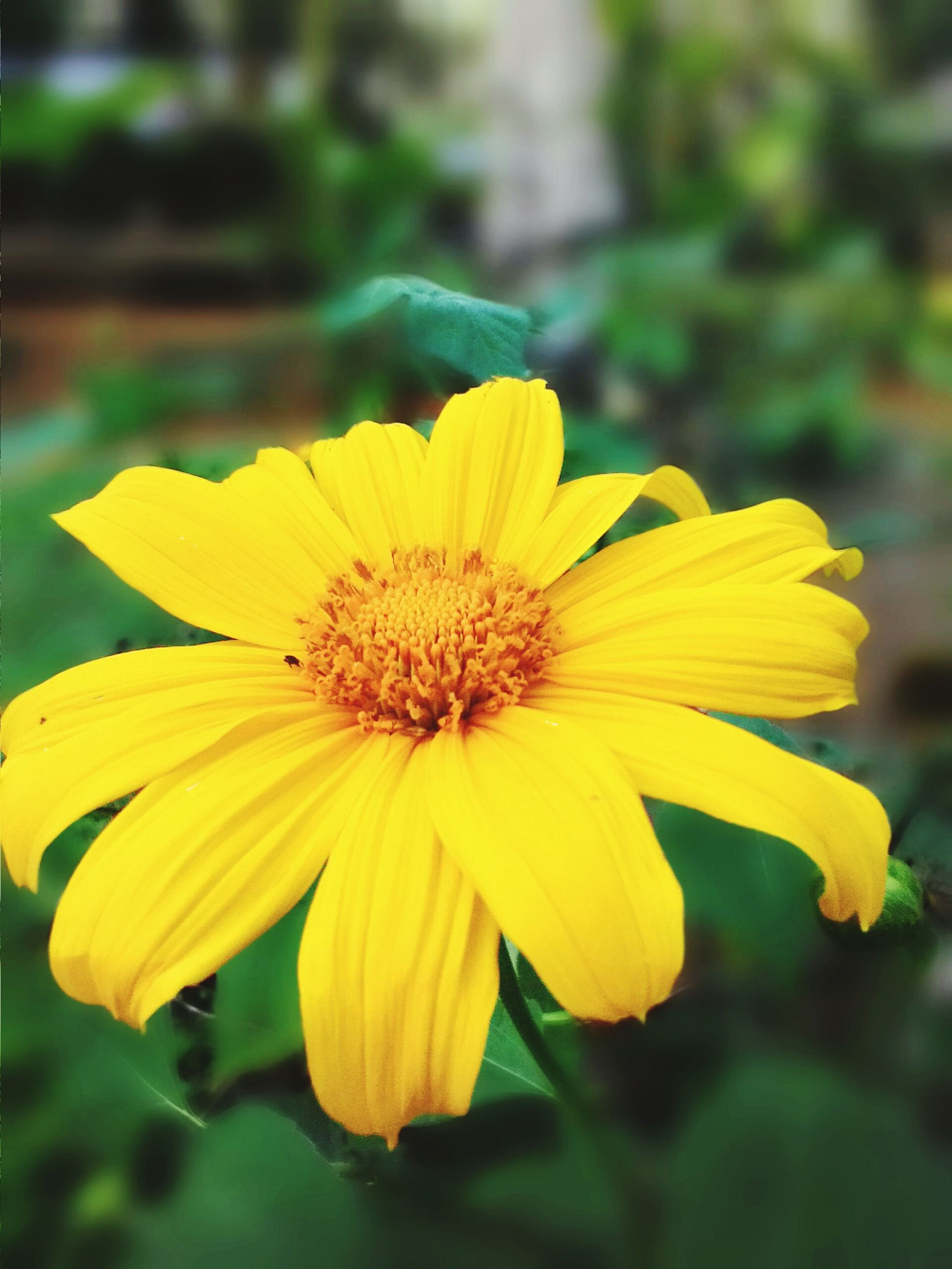 flower, petal, yellow, freshness, flower head, fragility, focus on foreground, close-up, beauty in nature, growth, pollen, blooming, single flower, nature, plant, in bloom, park - man made space, day, outdoors, blossom