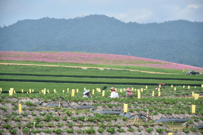 Agriculture Beauty In Nature Chaingrai Crop  Cultures Day Farm Field Growth Landscape Nature No People Outdoors Pink Color Rural Scene Scenics Singhapark