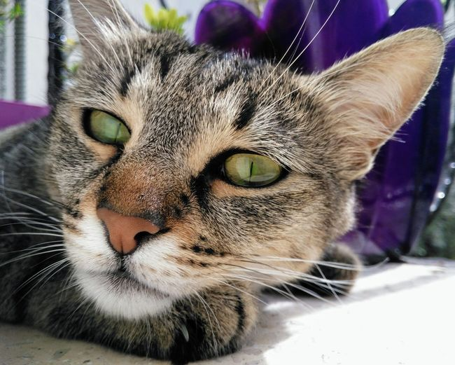 Pets Portrait Yellow Eyes Feline Looking At Camera Domestic Cat Whisker Close-up Cat Animal Eye Animal Face Adult Animal Animal Nose Green Eyes Kitten At Home
