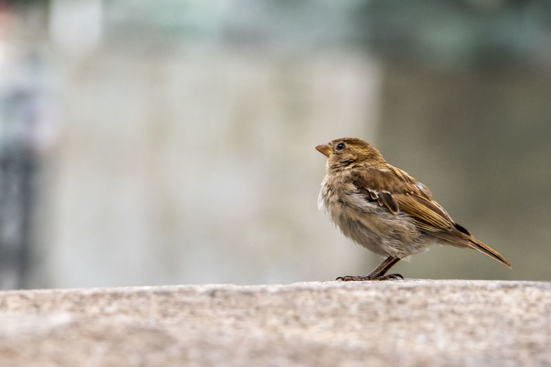 Near view of a dunnock sparrow, small bird in brown and gray plumage