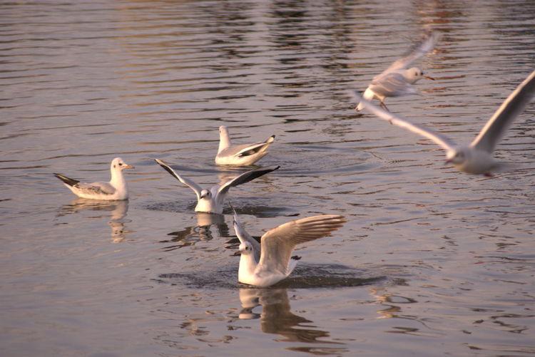 Swans in lake