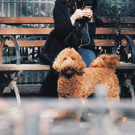 Labradoodle Pets Dog Pampered Pets Animal Hair Outdoors Labrador Poodle Labradoodle Curly Hair Curls Dogs Perro Park Dog Love