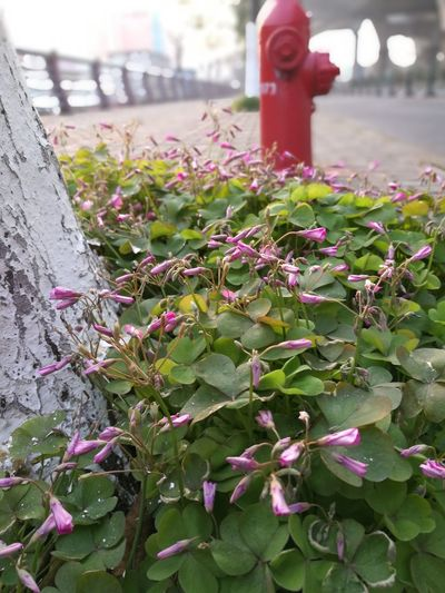 Toughness--In the cold windy morning, Oxalis still stand tall and keep blooming while the sun goes up. Taking Photos Life Lifeisbeautiful Agriculture Growth Outdoors Nature One Person Flower Plant
