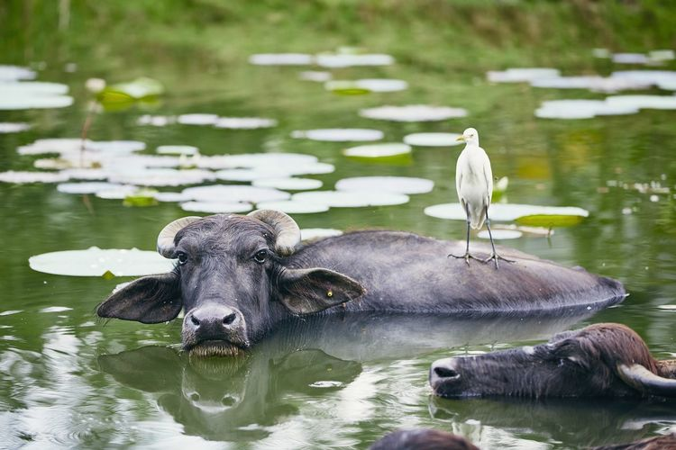 Symbiotic relationship between water buffalo and bird in lake. Nature in Sri Lanka. Buffalo Water Buffalo Water Refreshment Relaxation Swimming Lake Nature Sri Lanka Cooperation Livestock Agriculture Animal Animal Themes Bird Animal Wildlife Looking At Camera Mammal Cattle Cattle Egret Symbiotic Relationship Rural Scene Countryside Togetherness Group Of Animals