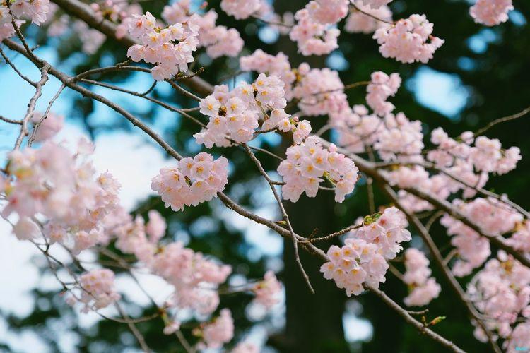 Nagano Sakura EyeEm Selects Flower Fragility Beauty In Nature Growth Nature Day
