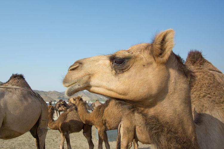 A Camels With Sad Face At A Desert In Outskirts Of Makkah Animal Themes Architecture Beautiful Crowd Desert Eid Eid Mubarak Hajj Islam Kaaba Mammal Man Mecca Medina Muslim Outdoors People Pilgrimage Ramadan  Ramadhan Religion Saudi Arabia Syawal Umrah Woman