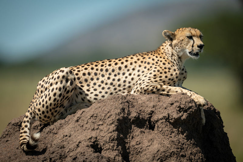 Close-up of cheetah sitting on rock