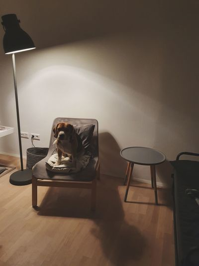 Dog sitting on chair by lamp shade at home