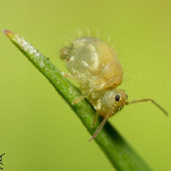 Macro SuperMacro Nature Springtail