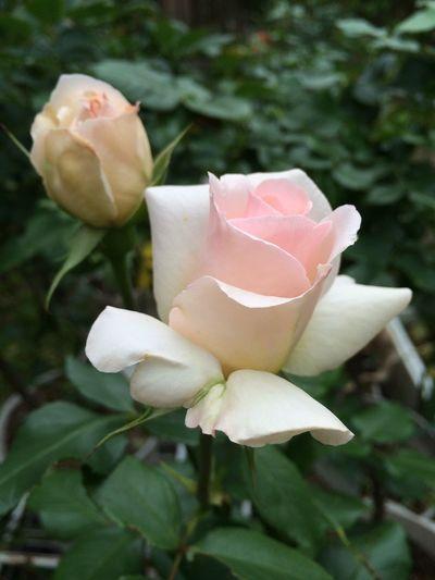 Flower 薔薇 ヨハン シュトラウス My Home