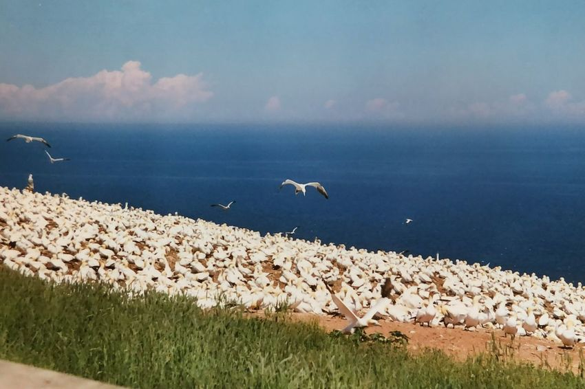 Gannet Colony Gannetcolony Gannet Gaspé Canada EyeEm Selects Water Nature Sea Beauty In Nature Scenics Bird Animal Themes Tranquility Horizon Over Water No People Outdoors Tranquil Scene Animals In The Wild Day Sky Cloud - Sky Flying Beach Grass Spread Wings