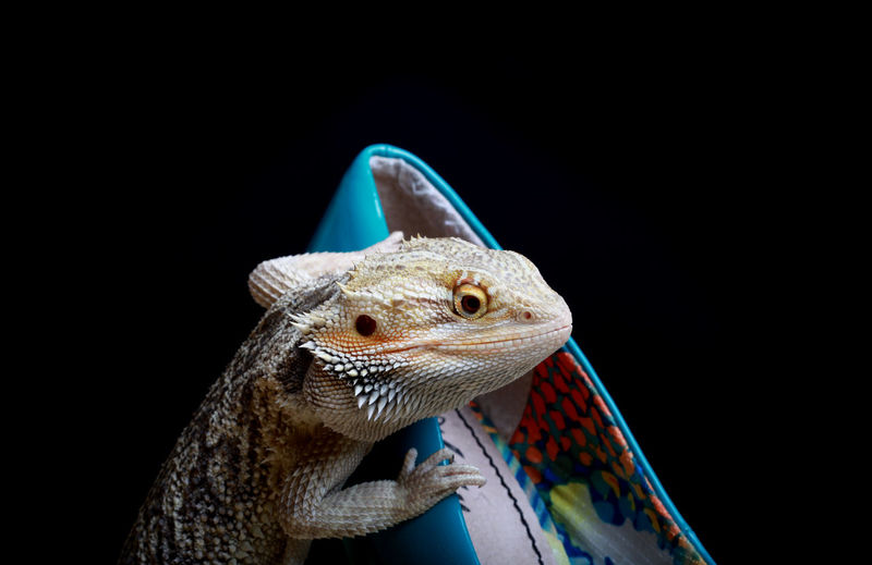 Bearded dragon Animal Animal Photography Bearded Dragon Close-up Fashion High Heels Lizard Reptile World Shoes Style ✌ Stylelife Macro Photography Macro_collection Hello World