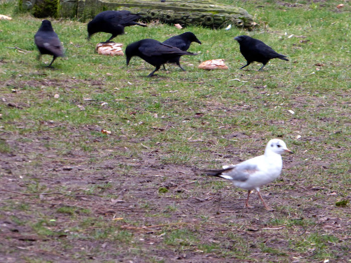 Seagull Among Crows In The Park Smart Birds😍 Brrrrrrrrr❄❄❄❄ Enjoying The Veiw  Beauty In Winter😍 Jumpjumpjumparound Enjoy The Little Things Nature Ravenbird Tranquility For My Friends 😍😘🎁 Cloudy Sky-nice View Cold Outside ❄⛄  Lovemyhometown Large Group Of Birds