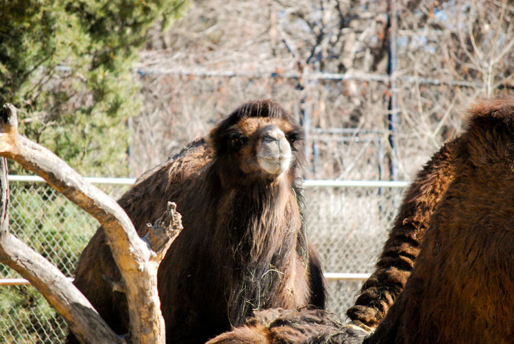 Bactrian Camels In Ranch