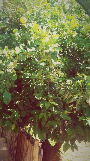 Sunlight Lemontree🌱🌞