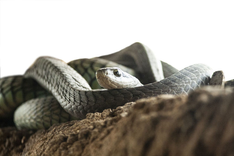 black mamba Dee-edged Animal Animal Body Part Animal Head  Animal Scale Animal Themes Animal Wildlife Animals In The Wild Close-up Copy Space Day Lizard Nature No People One Animal Outdoors Poisonous Reptile Selective Focus Snake Studio Shot Vertebrate White Background Zoology