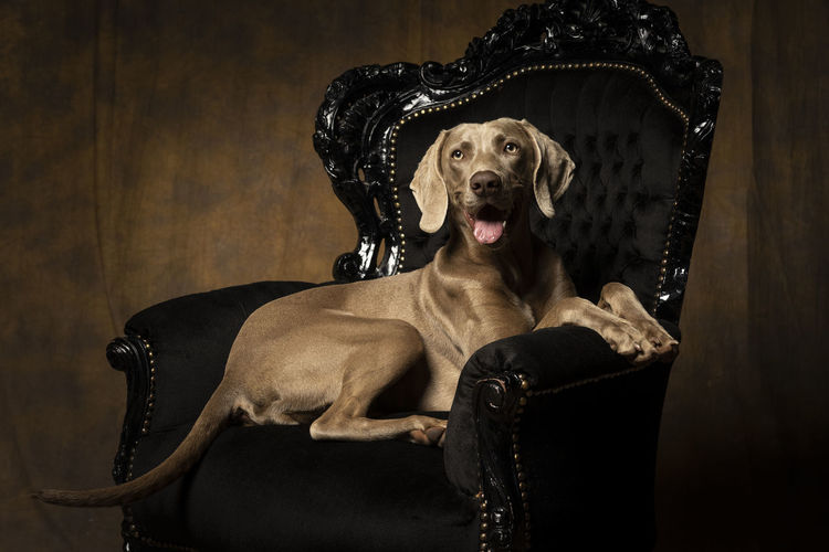 Young female weimaraner dog sitting in a baroque chair facing the camera full body Armchair Black Color Canine Chair Dog Domestic Domestic Animals Hunting Dog Indoors  Looking Luxury Mammal Mouth Open No People One Animal Pets Portrait Purebred Dog Seat Sitting Studio Shot Weimaraner