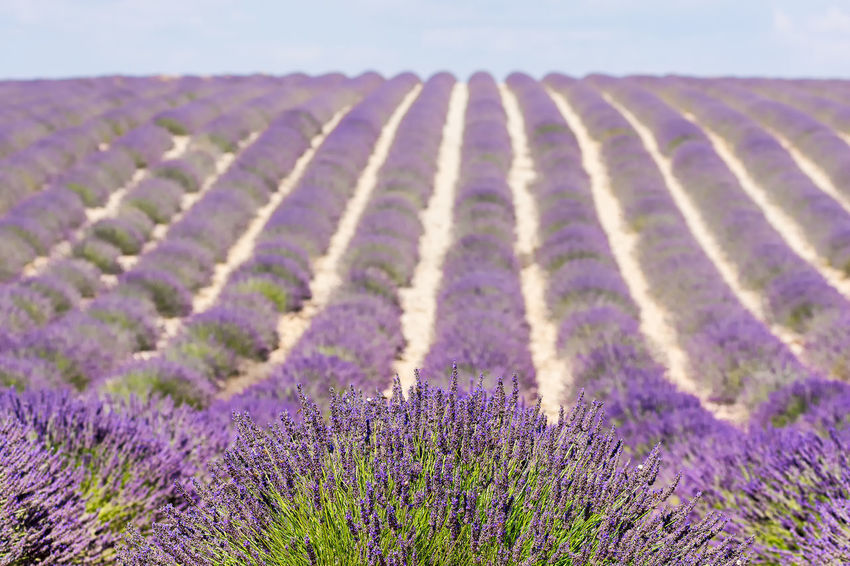 Summer day on lavender field. Valensole, south of France Agriculture Beauty In Nature Between The Lines Close-up Color Composition Day Detail Field Flower Landscape Lavender Lavender Field Lavender Purple Outdoors Provence Purple Rows Of Lavender Rural Scene Scenics South Of France Summer Tranquil Scene Tranquility