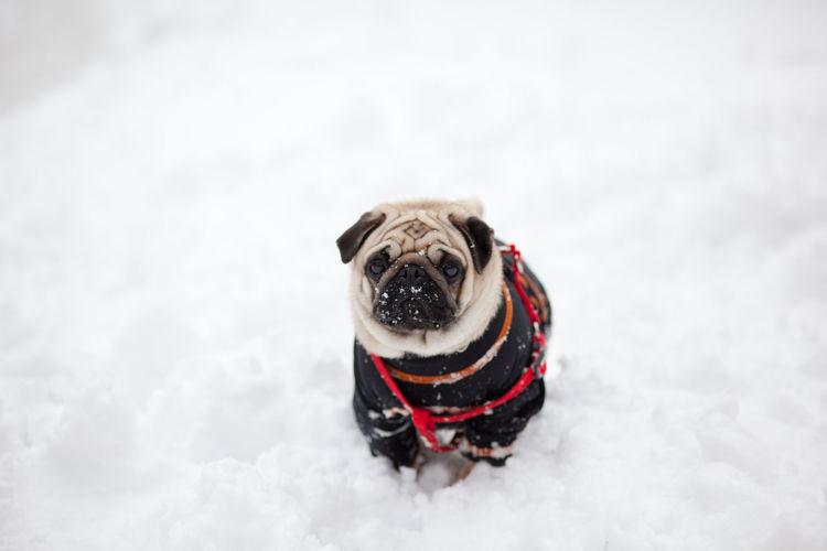 pug in the snow Carlino Cute Dog Doggy Love Pug Puggy Puglife Pugs Puppy Snow