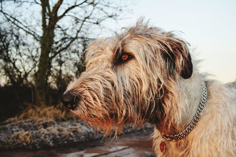 One Animal Animal Themes No People Close-up Dog Outdoors February 2017 Winter 2017 How Is The Weather Today? Sunlight Dogwalk Dogs Of Winter Animal Head  Animal Head  Tranquility Beauty In Nature Animal Head  Dogs Of EyeEm Irish Wolfhound Cearnaigh Dogslife