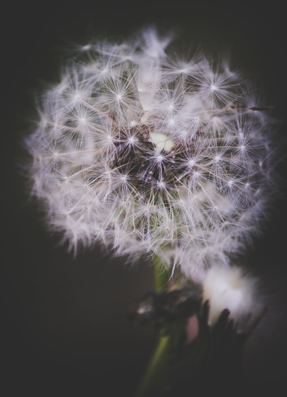 flower, dandelion, fragility, growth, dandelion seed, flower head, freshness, softness, plant, nature, beauty in nature, selective focus, botany, uncultivated, close-up, white color, petal, wildflower, no people, focus on foreground, soft focus, springtime, outdoors, black background, day