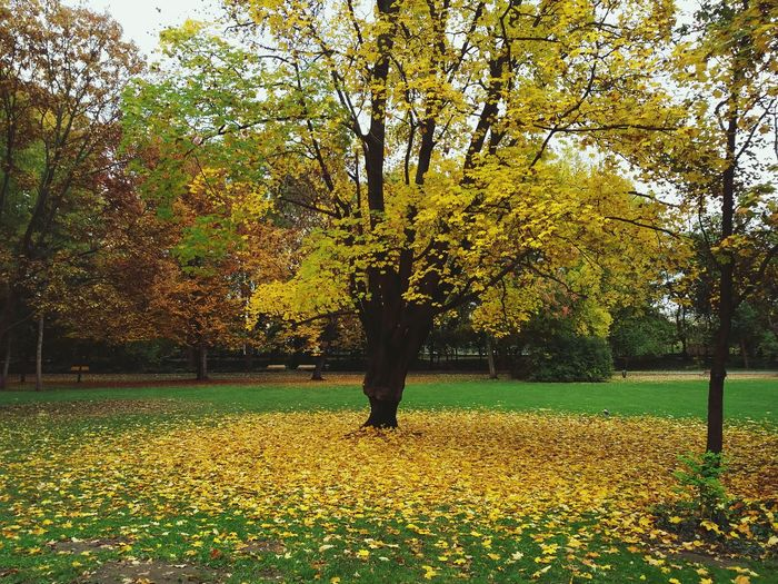 Sweet Budapest o mine. Tree Nature Beauty In Nature Outdoors Grass Scenics Green Yellow Plants Nature No People Budapest Budapest, Hungary Margaret Island Margit Hid Autumn Autumn Colors Autumn Leaves Autumn Collection Fall Fallen Leaves Leaves Trees Hungary Tree_collection