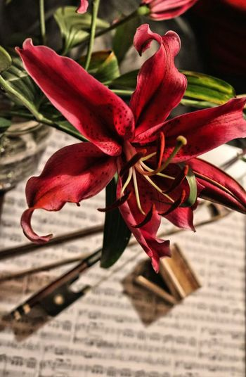 Bow Bows Close-up Flower Fragility Lilies Lily Music No People Rosin Selective Focus Sheet Music Stamen TheWeekOnEyeEM Telling Stories Differently Natures Diversities The Mix Up Eyeemphoto