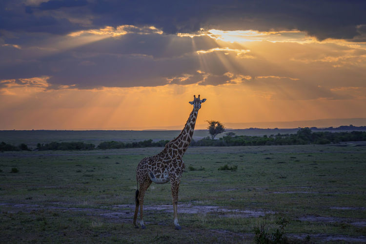 View of giraffe on field against sky during sunset