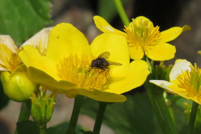 Animal Themes At The Garden Lake Beauty In Nature Blooming Botany Flower Flower Head Fly Freshness Insect Marsh Marigold One Animal Plant Spring Flowers