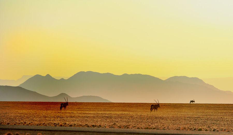 Gemsboks at namib desert during sunset