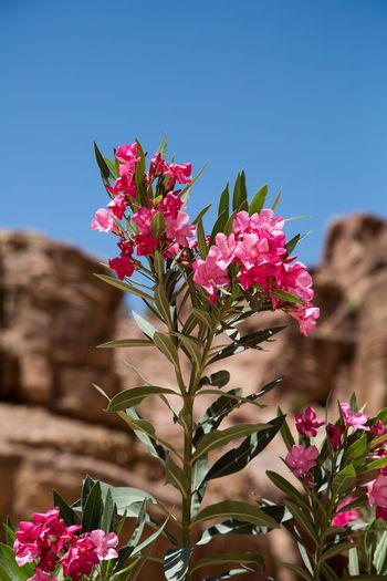 Traveling Jordan Nature Petra Travel Flowers