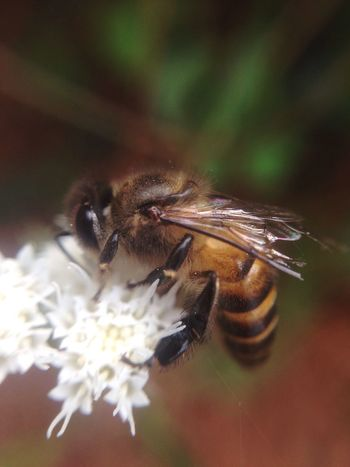 Honey Bee Nacture Honey Bee On Flower White Flowers Macro Photography Tiny Flowers Tiny Insects