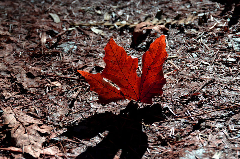 Autumn Beauty In Nature Change Close-up Fallen Leaves Fragility High Angle View High Contrast Leaf Maple Leaf Nature No People Outdoors Red Leaf Red Leaf In Sunlight Rest Colored Leaf Memory Shadows & Lights Stand Out From The Crowd Dead Leaf In Sunlight Shadow And Sunlight