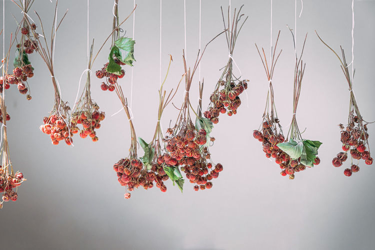 The drying process of wild strawberries on a twig. herbal treatment. healthy eating. detox diet.