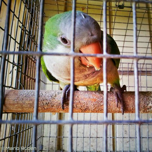 Pets Parrot Cotorra