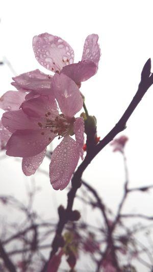 Flower Spring FlowerLove 🌸 Pink Flowers Naturelover Nature Phone Photography Eyeemphotography Outdoor Photography No People Nature Photography