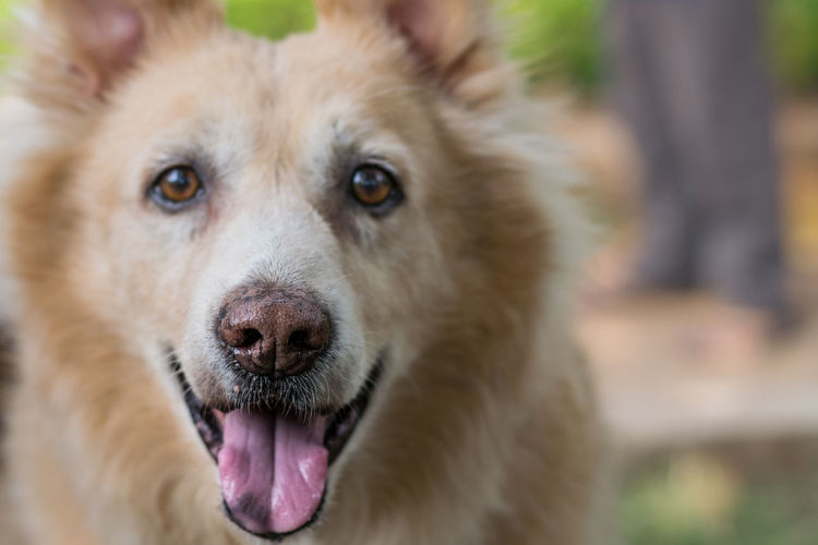 Pets Portrait Protruding Dog Looking At Camera Sticking Out Tongue Close-up Animal Tongue Snout Teeth Animal Eye Animal Nose Panting Animal Ear Animal Teeth Yawning Adult Animal Mouth Animal Head  Snarling At Home Licking Canine Animal Mouth Animal Body Part Animal Face