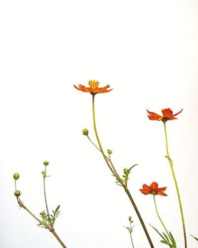 Flower Nature Fragility Plant Blossom Growth Botany Petal Flower Head Springtime Beauty In Nature No People EyeEm Selects Freshness Photooftheday Photooftheweek Picoftheday The Week On Eyem Freshness Outdoors Leaf Poppy Day Close-up White Background