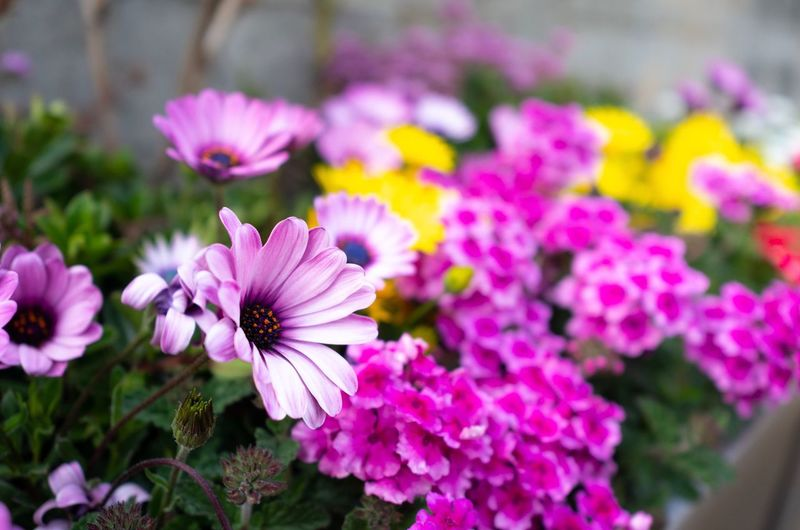 Gerbera daisy African Daisy Gerbera Daisy Flowering Plant Flower Freshness Plant Beauty In Nature Petal Fragility Vulnerability  Growth Flower Head Inflorescence Pink Color Close-up Focus On Foreground Nature No People Purple Day Botany Springtime